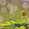 Geltonžiedė plukė - Anemonoides ranunculoides | Fotografijos autorius : Agnė Našlėnienė | © Macrogamta.lt | Šis tinklapis priklauso bendruomenei kuri domisi makro fotografija ir fotografuoja gyvąjį makro pasaulį.