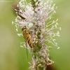 Geltonasis žiedvoris pietauja | Fotografijos autorius : Vidas Brazauskas | © Macrogamta.lt | Šis tinklapis priklauso bendruomenei kuri domisi makro fotografija ir fotografuoja gyvąjį makro pasaulį.