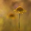 Geltonasis bobramunis - Cota tinctoria | Fotografijos autorius : Agnė Našlėnienė | © Macrogamta.lt | Šis tinklapis priklauso bendruomenei kuri domisi makro fotografija ir fotografuoja gyvąjį makro pasaulį.
