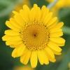 Geltonasis bobramunis - Cota tinctoria | Fotografijos autorius : Gintautas Steiblys | © Macrogamta.lt | Šis tinklapis priklauso bendruomenei kuri domisi makro fotografija ir fotografuoja gyvąjį makro pasaulį.