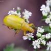 Geltonasis dulkiagraužis - Cteniopus sulphureus | Fotografijos autorius : Romas Ferenca | © Macrogamta.lt | Šis tinklapis priklauso bendruomenei kuri domisi makro fotografija ir fotografuoja gyvąjį makro pasaulį.
