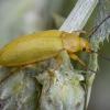 Geltonasis dulkiagraužis - Cteniopus sulphureus | Fotografijos autorius : Žilvinas Pūtys | © Macrogamta.lt | Šis tinklapis priklauso bendruomenei kuri domisi makro fotografija ir fotografuoja gyvąjį makro pasaulį.