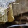 Geltonoji ilgaūsė makštinė kandis - Nematopogon swammerdamella | Fotografijos autorius : Romas Ferenca | © Macrogamta.lt | Šis tinklapis priklauso bendruomenei kuri domisi makro fotografija ir fotografuoja gyvąjį makro pasaulį.