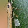 Geltonoji kerpytė - Eilema lutarella | Fotografijos autorius : Arūnas Eismantas | © Macrogamta.lt | Šis tinklapis priklauso bendruomenei kuri domisi makro fotografija ir fotografuoja gyvąjį makro pasaulį.