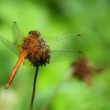 Geltonsparnė skėtė - Sympetrum flaveolum | Fotografijos autorius : Vidas Brazauskas | © Macrogamta.lt | Šis tinklapis priklauso bendruomenei kuri domisi makro fotografija ir fotografuoja gyvąjį makro pasaulį.