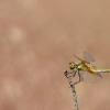 Geltonsparnė skėtė - Sympetrum flaveolum | Fotografijos autorius : Zita Gasiūnaitė | © Macrogamta.lt | Šis tinklapis priklauso bendruomenei kuri domisi makro fotografija ir fotografuoja gyvąjį makro pasaulį.