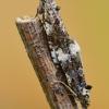 Glindinė endotenija - Endothenia marginana   Fotografijos autorius : Arūnas Eismantas   © Macrogamta.lt   Šis tinklapis priklauso bendruomenei kuri domisi makro fotografija ir fotografuoja gyvąjį makro pasaulį.