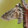 Gluosninis medgręžis - Cossus cossus | Fotografijos autorius : Gintautas Steiblys | © Macrogamta.lt | Šis tinklapis priklauso bendruomenei kuri domisi makro fotografija ir fotografuoja gyvąjį makro pasaulį.