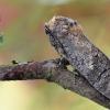 Gluosninis medgręžis - Cossus cossus | Fotografijos autorius : Arūnas Eismantas | © Macrogamta.lt | Šis tinklapis priklauso bendruomenei kuri domisi makro fotografija ir fotografuoja gyvąjį makro pasaulį.