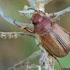 Grambuolys - Rhizotrogus sp. | Fotografijos autorius : Gintautas Steiblys | © Macrogamta.lt | Šis tinklapis priklauso bendruomenei kuri domisi makro fotografija ir fotografuoja gyvąjį makro pasaulį.