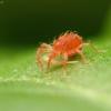 Grobuoniškoji erkė - Phytoseiidae | Fotografijos autorius : Vidas Brazauskas | © Macrogamta.lt | Šis tinklapis priklauso bendruomenei kuri domisi makro fotografija ir fotografuoja gyvąjį makro pasaulį.