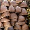Vėlyvoji šalmabudė - Mycena tintinnabulum | Fotografijos autorius : Ramunė Vakarė | © Macrogamta.lt | Šis tinklapis priklauso bendruomenei kuri domisi makro fotografija ir fotografuoja gyvąjį makro pasaulį.