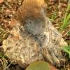 Vasarinis baravykas - Boletus reticulatus | Fotografijos autorius : Ramunė Vakarė | © Macrogamta.lt | Šis tinklapis priklauso bendruomenei kuri domisi makro fotografija ir fotografuoja gyvąjį makro pasaulį.