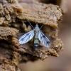 Grybinis uodukas - Mycetophila sp.   Fotografijos autorius : Kazimieras Martinaitis   © Macrogamta.lt   Šis tinklapis priklauso bendruomenei kuri domisi makro fotografija ir fotografuoja gyvąjį makro pasaulį.