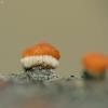 Paprastasis raudonspuogis - Nectria cinnabarina | Fotografijos autorius : Vidas Brazauskas | © Macrogamta.lt | Šis tinklapis priklauso bendruomenei kuri domisi makro fotografija ir fotografuoja gyvąjį makro pasaulį.