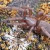 Haplodrassus sp. ?? | Fotografijos autorius : Gintautas Steiblys | © Macrogamta.lt | Šis tinklapis priklauso bendruomenei kuri domisi makro fotografija ir fotografuoja gyvąjį makro pasaulį.