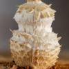 Beržinė skujagalvė - Pholiota heteroclita | Fotografijos autorius : Eglė Vičiuvienė | © Macrogamta.lt | Šis tinklapis priklauso bendruomenei kuri domisi makro fotografija ir fotografuoja gyvąjį makro pasaulį.