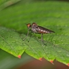 Hybotidae | Fotografijos autorius : Gintautas Steiblys | © Macrogamta.lt | Šis tinklapis priklauso bendruomenei kuri domisi makro fotografija ir fotografuoja gyvąjį makro pasaulį.