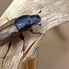 Afodijus - Melinopterus prodromus | Fotografijos autorius : Gintautas Steiblys | © Macrogamta.lt | Šis tinklapis priklauso bendruomenei kuri domisi makro fotografija ir fotografuoja gyvąjį makro pasaulį.