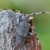Ilgaūsis pušiagraužis - Acanthocinus aedilis | Fotografijos autorius : Gintautas Steiblys | © Macrogamta.lt | Šis tinklapis priklauso bendruomenei kuri domisi makro fotografija ir fotografuoja gyvąjį makro pasaulį.