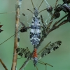 Uodai - Eloeophila apicata    Fotografijos autorius : Gintautas Steiblys   © Macrogamta.lt   Šis tinklapis priklauso bendruomenei kuri domisi makro fotografija ir fotografuoja gyvąjį makro pasaulį.