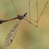 Ilgakojis uodas - Tipula pseudoirrorata ♂ | Fotografijos autorius : Gintautas Steiblys | © Macrogamta.lt | Šis tinklapis priklauso bendruomenei kuri domisi makro fotografija ir fotografuoja gyvąjį makro pasaulį.