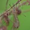Ilgakojis uodas - Tipula autumnalis ♂ | Fotografijos autorius : Žilvinas Pūtys | © Macrogamta.lt | Šis tinklapis priklauso bendruomenei kuri domisi makro fotografija ir fotografuoja gyvąjį makro pasaulį.