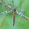 Ilgakojis uodas - Tipula irrorata | Fotografijos autorius : Gintautas Steiblys | © Macrogamta.lt | Šis tinklapis priklauso bendruomenei kuri domisi makro fotografija ir fotografuoja gyvąjį makro pasaulį.