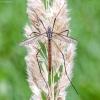 Pelkinis ilgakojis uodas - Tipula paludosa | Fotografijos autorius : Kazimieras Martinaitis | © Macrogamta.lt | Šis tinklapis priklauso bendruomenei kuri domisi makro fotografija ir fotografuoja gyvąjį makro pasaulį.