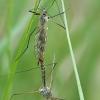 Ilgakojis uodas - Tipula varipennis | Fotografijos autorius : Gintautas Steiblys | © Macrogamta.lt | Šis tinklapis priklauso bendruomenei kuri domisi makro fotografija ir fotografuoja gyvąjį makro pasaulį.