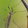 Ilgakojis uodas - Tricyphona immaculata   Fotografijos autorius : Gintautas Steiblys   © Macrogamta.lt   Šis tinklapis priklauso bendruomenei kuri domisi makro fotografija ir fotografuoja gyvąjį makro pasaulį.