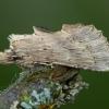 Ilganosis kuoduotis - Pterostoma palpina | Fotografijos autorius : Žilvinas Pūtys | © Macrogamta.lt | Šis tinklapis priklauso bendruomenei kuri domisi makro fotografija ir fotografuoja gyvąjį makro pasaulį.