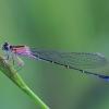 Elegantiškoji strėliukė - Ishnura elegans f. violacea | Fotografijos autorius : Gintautas Steiblys | © Macrogamta.lt | Šis tinklapis priklauso bendruomenei kuri domisi makro fotografija ir fotografuoja gyvąjį makro pasaulį.