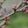 Japoninis svarainis | Maule's quince | Chaenomeles japonica | Fotografijos autorius : Darius Baužys | © Macrogamta.lt | Šis tinklapis priklauso bendruomenei kuri domisi makro fotografija ir fotografuoja gyvąjį makro pasaulį.