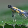 Jonažolinė keršoji kandelė - Euspilapteryx auroguttella | Fotografijos autorius : Arūnas Eismantas | © Macrogamta.lt | Šis tinklapis priklauso bendruomenei kuri domisi makro fotografija ir fotografuoja gyvąjį makro pasaulį.