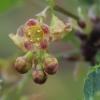 Raudonasis serbentas - Ribes rubrum | Fotografijos autorius : Gintautas Steiblys | © Macrogamta.lt | Šis tinklapis priklauso bendruomenei kuri domisi makro fotografija ir fotografuoja gyvąjį makro pasaulį.
