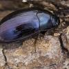Violetinis juodvabalis - Platydema violaceum | Fotografijos autorius : Kazimieras Martinaitis | © Macrogamta.lt | Šis tinklapis priklauso bendruomenei kuri domisi makro fotografija ir fotografuoja gyvąjį makro pasaulį.