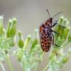 Juostelinė skydblakė | Italian striped-bug | Graphosoma italicum | Fotografijos autorius : Darius Baužys | © Macrogamta.lt | Šis tinklapis priklauso bendruomenei kuri domisi makro fotografija ir fotografuoja gyvąjį makro pasaulį.
