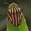 Juostelinė skydblakė - Graphosoma italicum | Fotografijos autorius : Armandas Kazlauskas | © Macrogamta.lt | Šis tinklapis priklauso bendruomenei kuri domisi makro fotografija ir fotografuoja gyvąjį makro pasaulį.