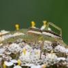 Juostuotasis plūdvoris - Dolomedes fimbriatus | Fotografijos autorius : Žilvinas Pūtys | © Macrogamta.lt | Šis tinklapis priklauso bendruomenei kuri domisi makro fotografija ir fotografuoja gyvąjį makro pasaulį.