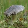 Juosvažalis baltikas - Tricholoma portentosum | Fotografijos autorius : Gintautas Steiblys | © Macrogamta.lt | Šis tinklapis priklauso bendruomenei kuri domisi makro fotografija ir fotografuoja gyvąjį makro pasaulį.