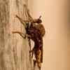 Vapsviškoji plėšriamusė - Asilus crabroniformis   Fotografijos autorius : Zita Gasiūnaitė   © Macrogamta.lt   Šis tinklapis priklauso bendruomenei kuri domisi makro fotografija ir fotografuoja gyvąjį makro pasaulį.