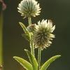 Kalninis dobilas - Trifolium montanum | Fotografijos autorius : Vidas Brazauskas | © Macrogamta.lt | Šis tinklapis priklauso bendruomenei kuri domisi makro fotografija ir fotografuoja gyvąjį makro pasaulį.