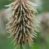 Kalninis dobilas - Trifolium montanum | Fotografijos autorius : Gintautas Steiblys | © Macrogamta.lt | Šis tinklapis priklauso bendruomenei kuri domisi makro fotografija ir fotografuoja gyvąjį makro pasaulį.