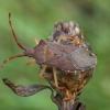Kampuotblakė - Gonocerus acuteangulatus | Fotografijos autorius : Žilvinas Pūtys | © Macrogamta.lt | Šis tinklapis priklauso bendruomenei kuri domisi makro fotografija ir fotografuoja gyvąjį makro pasaulį.