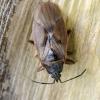 Kankorėžinė dirvablakė || Gastrodes abietum | Fotografijos autorius : Darius Baužys | © Macrogamta.lt | Šis tinklapis priklauso bendruomenei kuri domisi makro fotografija ir fotografuoja gyvąjį makro pasaulį.