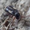 Kaukvabalis - Phytobaenus amabilis | Fotografijos autorius : Romas Ferenca | © Macrogamta.lt | Šis tinklapis priklauso bendruomenei kuri domisi makro fotografija ir fotografuoja gyvąjį makro pasaulį.
