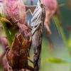 Keliaujantysis plačiasparnis ugniukas - Nomophila noctuella | Fotografijos autorius : Oskaras Venckus | © Macrogamta.lt | Šis tinklapis priklauso bendruomenei kuri domisi makro fotografija ir fotografuoja gyvąjį makro pasaulį.