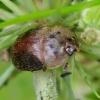 Kelmutinis žvilgvabalis - Cychramus variegatus | Fotografijos autorius : Romas Ferenca | © Macrogamta.lt | Šis tinklapis priklauso bendruomenei kuri domisi makro fotografija ir fotografuoja gyvąjį makro pasaulį.