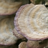 Pergamentinė kempelė - Trichaptum biforme | Fotografijos autorius : Gintautas Steiblys | © Macrogamta.lt | Šis tinklapis priklauso bendruomenei kuri domisi makro fotografija ir fotografuoja gyvąjį makro pasaulį.